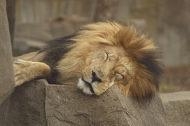 Sleepy_lion